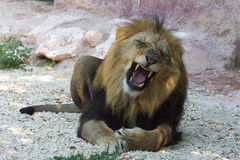 Lion roaring Stock Photos