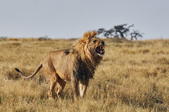 Lion roaring Royalty Free Stock Image