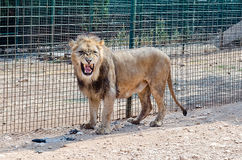 A lion roaring in a zoo Royalty Free Stock Photo