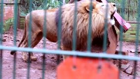 Lion roars stock video footage