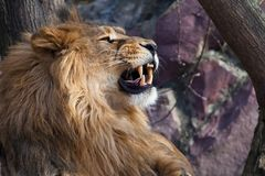The lion roars. a big lion with a beautiful lush mane growls overlooking the wide red mouth with fangs, close-up. The head of a lion royalty free stock image