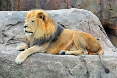 Lion on the rock Stock Photography