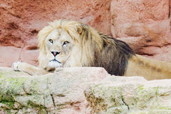 Lion on a rock Royalty Free Stock Images