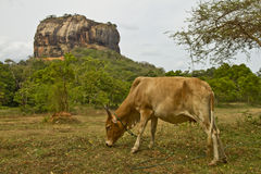 Lion Rock de Sigiryia, Sri Lanka Vache dans le premier plan Photo stock