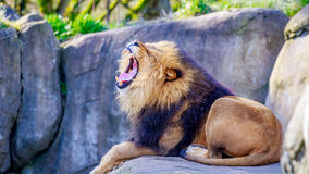 Lion on Rock Stock Photography