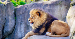 Lion on Rock Stock Images