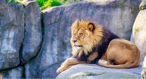 Lion on Rock Royalty Free Stock Photos