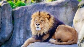 Lion on Rock Stock Photo