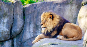 Lion on Rock Royalty Free Stock Images