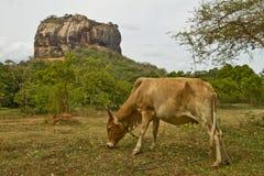 Lion Rock of Sigiryia, Sri Lanka. Cow in foreground. stock photo