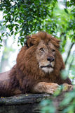 Lion on Rock Royalty Free Stock Photo