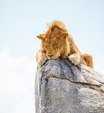 Lion on the rock Stock Image