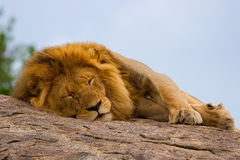 Lion on Rock. Lion sleeps on a rock in the Serengeti Royalty Free Stock Photos