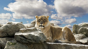 Lion on rocks Royalty Free Stock Photos