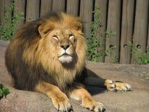 Lion, roi de la roche Photographie stock libre de droits