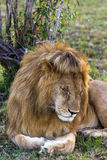 Lion Roi des bêtes endormi Masai Mara Photo libre de droits