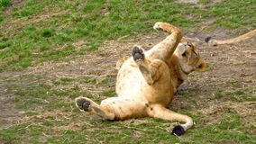 Lion rolling on her back. Mature lion rolling on her back stock video