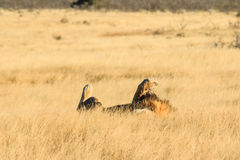 Lion rolling and resting Stock Photos