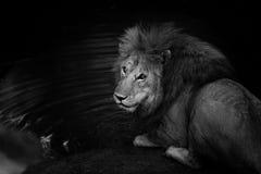 Lion Romeo grande 2 le gusta beber en Masai Mara, Kenia Imagen de archivo