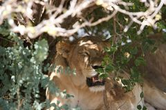 Lion in Ruaha National Park, Tanzania royalty free stock images