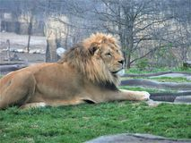 Lion s'étendant dans l'herbe au zoo de Kansas City images stock