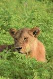 Lion s'étendant dans la fin de champ  Photographie stock libre de droits