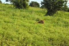 Lion s'étendant dans la fin de champ vers le haut du profil grondant photographie stock libre de droits