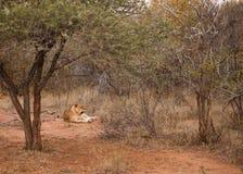 Lion s'étendant dans le buisson Photo stock