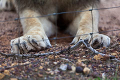 Lion's Claws and Cage. Stock Photo