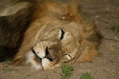 Lion`s closeup in the Savana. – South Africa Stock Images