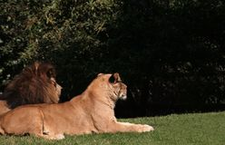 Lion's couple. Lion and lionesse at mexico'd df, chapultepec zoo Stock Photo