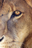Lion's eye. Close-up of the eye of a male lion in a zoo royalty free stock photography