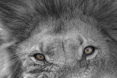 Lion´s eyes. Monochrome and partly colored portrait of a male lion close-up Royalty Free Stock Photos