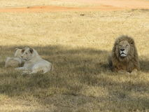 A lion´s family royalty free stock photo