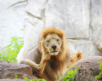Lion's foot knocked in the head. Royalty Free Stock Images