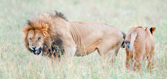 Lion`s grin. Lion is becomes angry. The lion Panthera leo nubica, known as the East African or Massai Lion Stock Photography