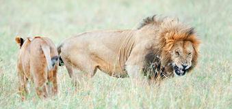 Lion`s grin. Lion is becomes angry. The lion Panthera leo nubica Royalty Free Stock Photography