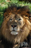 Lion's Head. Close up of a Lion sitting under the shade of a tree Royalty Free Stock Photography