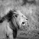 Lion's head Royalty Free Stock Images