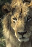 Lion's head, male. Close up,Moremi,Botswana, Africa Royalty Free Stock Photography