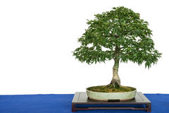 Lion`s head maple bonsai tree Acer palmatum. With copy space royalty free stock photography
