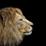 The lion's head in profile Stock Photography