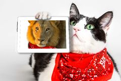 Lions Heart Cat Stock Images
