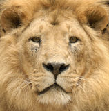 The lion's majestic gaze. Closeup of a beautiful lion's lofty face looking straight into the camera Royalty Free Stock Image