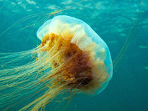 Lion's mane jellyfish stock photos
