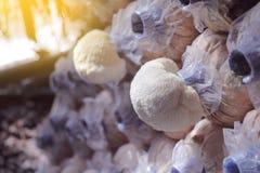 Lion`s mane mushroom growing in mushroom farms. Lion`s mane mushroom growing in mushroom farms in Thailand royalty free stock image