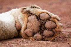 Lion's Paw. Close up of a lion's paw, while resting Stock Photos