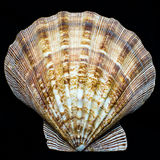 Lion's Paw Scallop seashell Royalty Free Stock Images