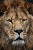 Lion's portrait. Big beautiful lion portrait in a zoo Royalty Free Stock Images