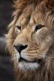 Lion's portrait. Big beautiful lion portrait in a zoo Stock Photos